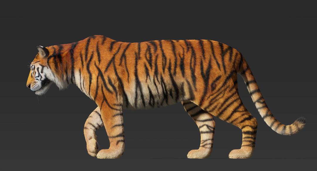 Tiger (Fur) Rigged Tiger Fur 9 png