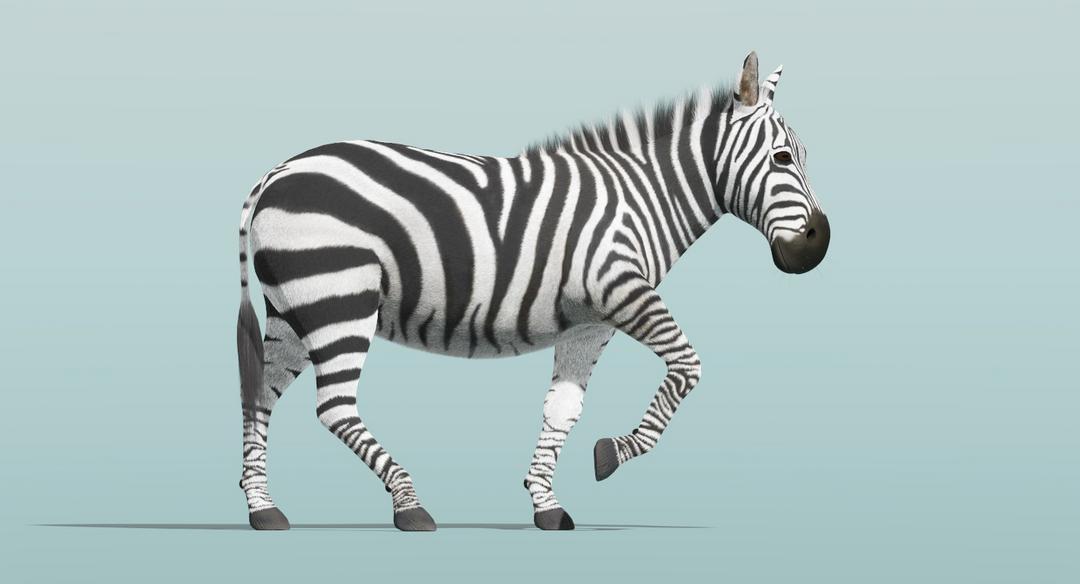 Zebra (Fur) Rigged Zebra Fur Rigged 3 png