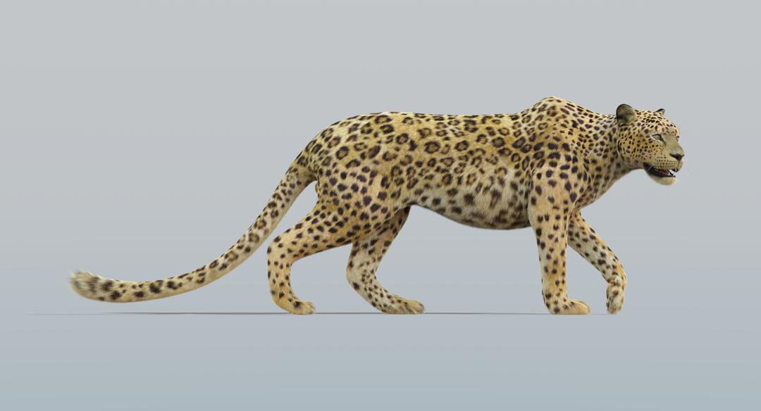 Leopard (Fur) Rigged Leopard 6 png