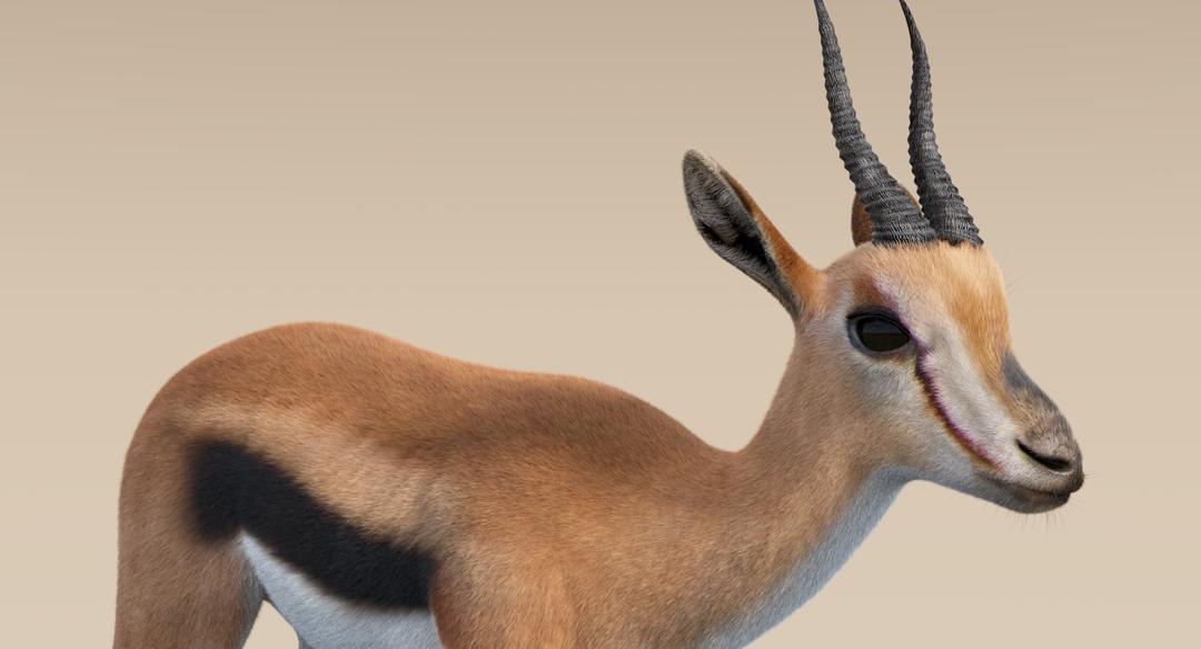 Thomson Gazelle (Fur) Rigged Thomson Gazelle 2 png