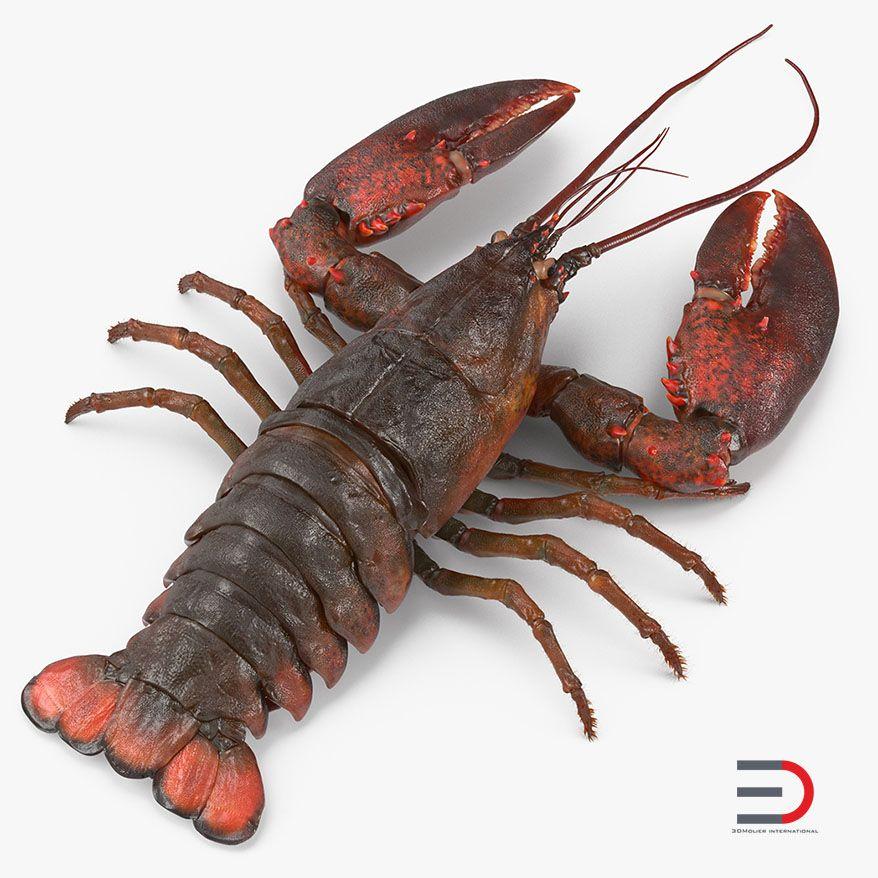 Animal Modeling Lobster with Fur jpg