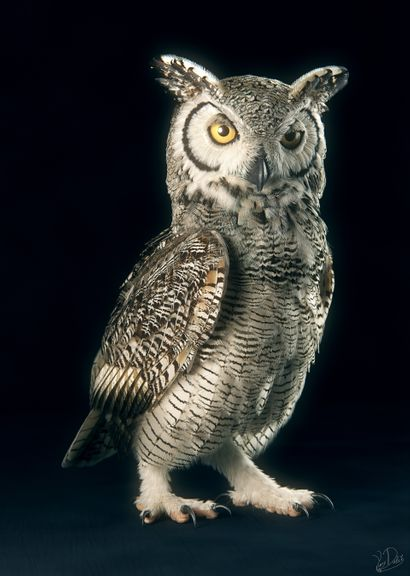 Subarctic Great Horned Owl 3D Model