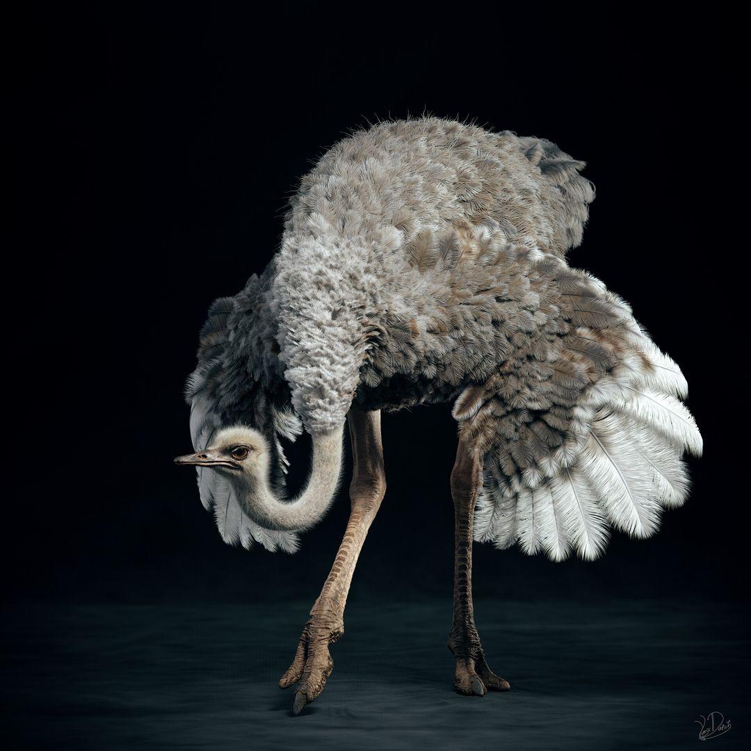 Somali Ostrich Ostrich 02 jpg