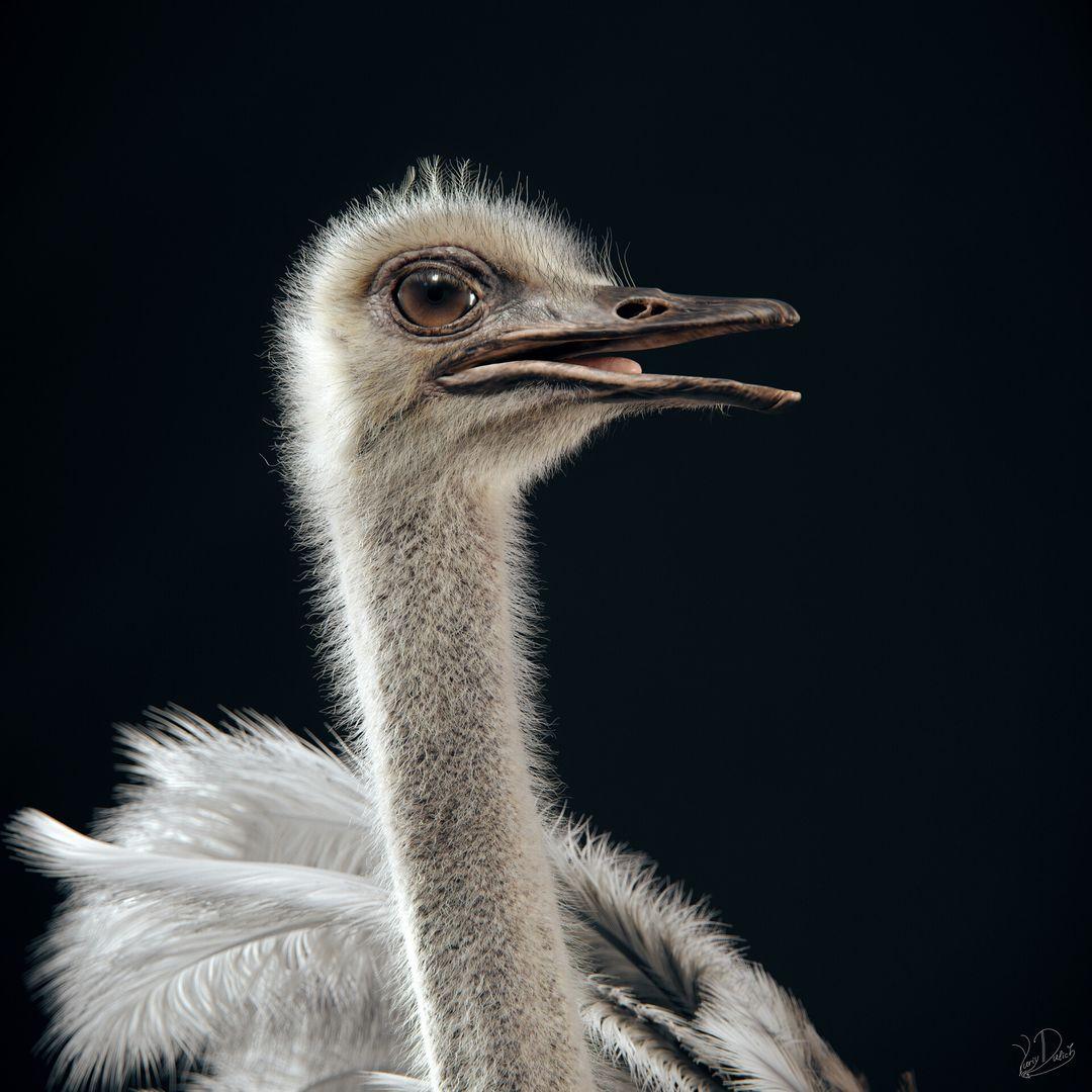 Somali Ostrich Ostrich 04 jpg