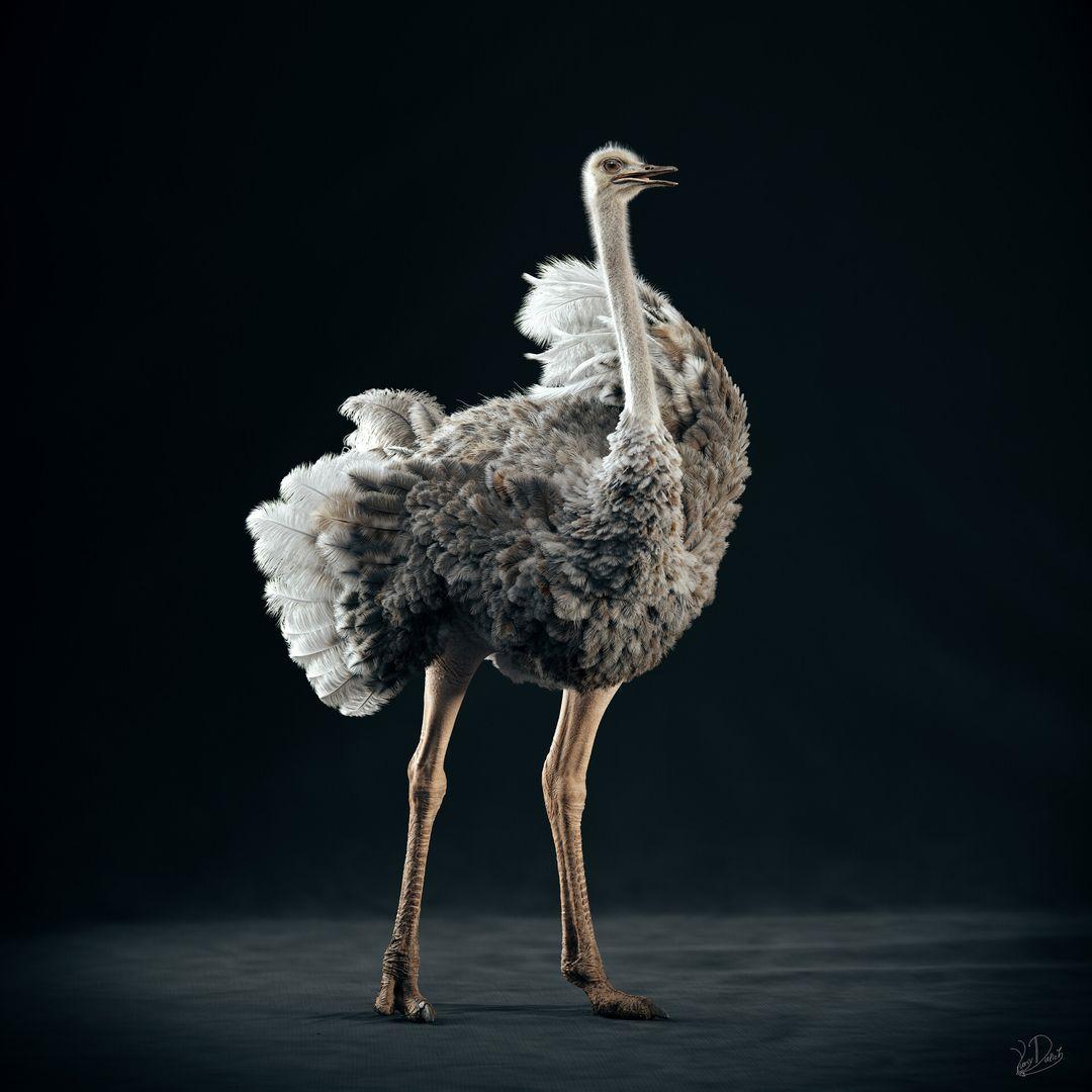 Somali Ostrich ostrich 01 jpg