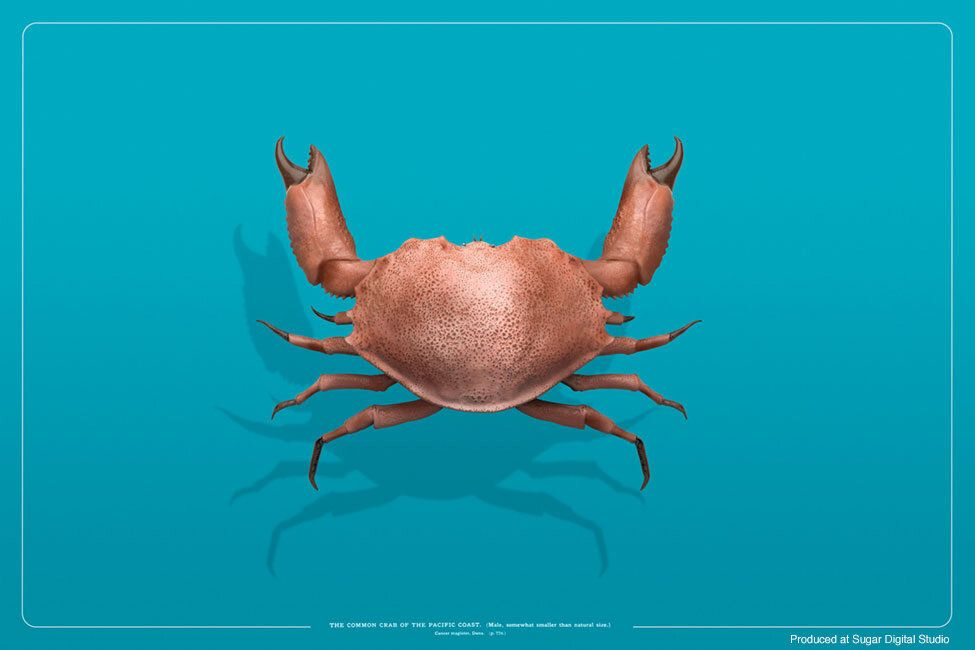 Pacific Crab crab matteo musci jpg