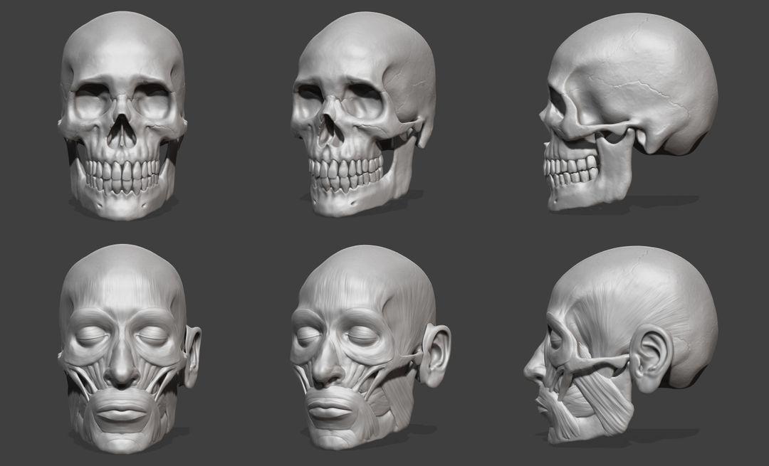 Skull and Face Muscle Study jimmy mccafferty skullcomp jpg